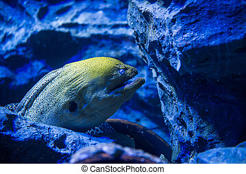 moray, gigante, anguila