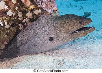 moray, gigante, barrera coralina, anguila