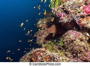 moray, gigante, maldivas, (gymnothorax, javanicus)