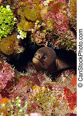 moray, goldentail