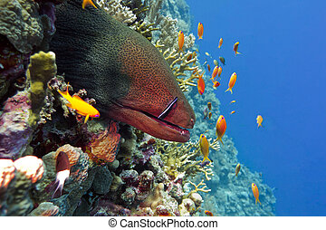moray, grande, arrecife, colorido, fondo, peligroso, coral, ...