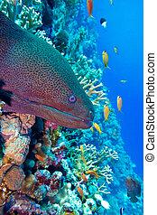 moray, grande, colorido, fondo, peligroso, coral, anguila, ...
