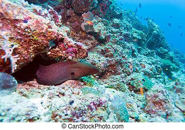 moray, gymnothorax, -, anguila, más grande, javanicus