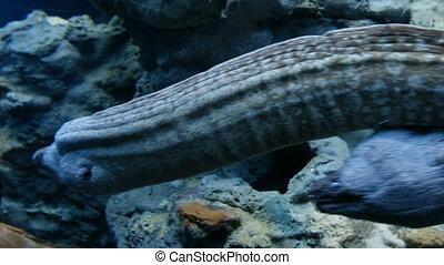 Moray mediterranean long diving predator fishes - two morays...