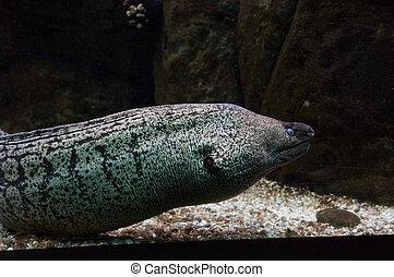 moray, mouth., abierto, anguila