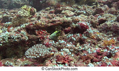 Moray on background coral underwater in sea of Maldives. Swimming in world of colorful beautiful wildlife of corals reefs. Inhabitants in search of food. Abyssal relax diving.