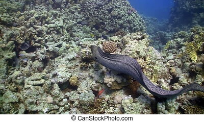 Moray on Coral Reef, Red sea