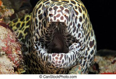 moray, panal, anguila