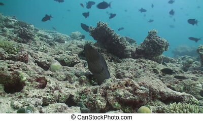 Moray peeps out of hiding on coral reef. Amazing, beautiful underwater marine life world of sea creatures in Maldives. Scuba diving and tourism.