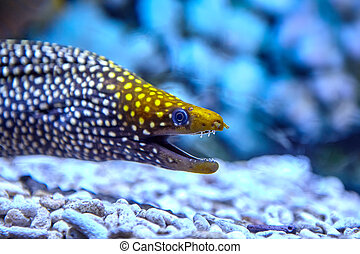 moray, pez, tropical, inhabiting, corals., mar, enjoyado, ...