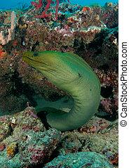 moray, su, grande, anguila, verde, agujero, reef., viene, ...