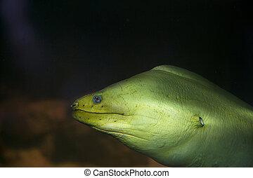 moray, verde, anguila