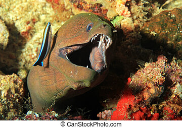 Moray with Open Mouth