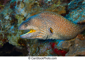 moray, yellowmouth