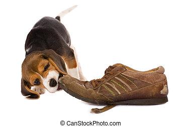 morder, perrito, zapato