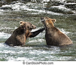 More fish Mom - Katmai Brown Bears, mother and cub, having a...
