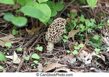 Morel Mushroom - Morel mushroom in a wooded area.