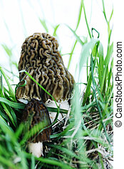 morels in the grass