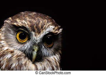 morepork portrait - Portrait of New Zealand's iconic ...