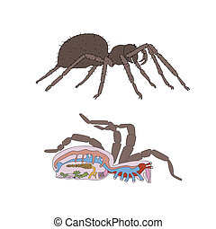 morfologi, tvärsnitt, spindel