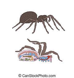 morfologia, sezione trasversale, ragno