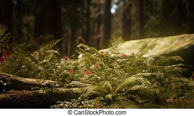morgen, bosje, sequoias, zonlicht, mariposa, vroeg