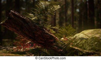 morgen, vroeg, sequoias, zonlicht, bosje, mariposa