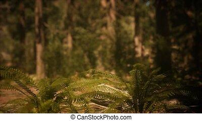morgen, vroeg, zonlicht, mariposa boomgaard, sequoias
