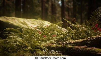 morgen, zonlicht, bosje, vroeg, sequoias, mariposa