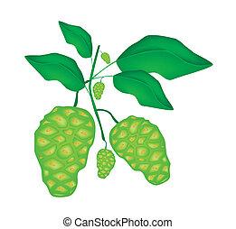 morinda, baum, noni, fruechte, grün, citrifolia, oder