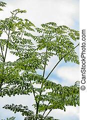 Moringa oleifera plants