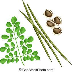Moringa oleifera. Vector illustration on white background.