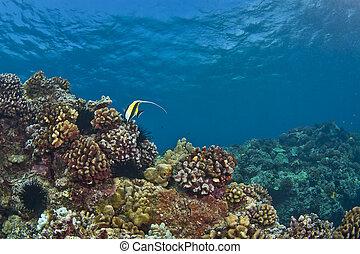 morisco, ídolo, solitario, arrecife, hawaiano
