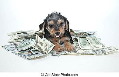 morkie, perrito, tonto, rico