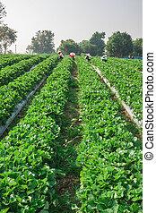 beautiful strawberries farm