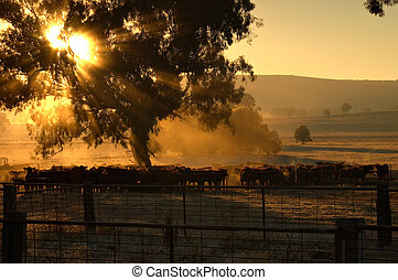 morning cattle - sunrise coming through the trees with rays...