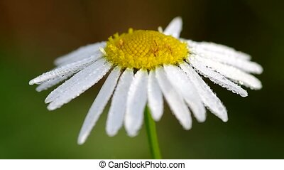 Morning dew on a camomile