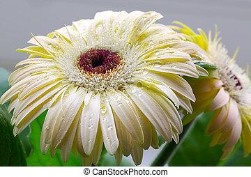 morning dew on flower gerbera