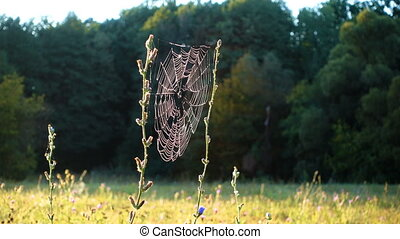 Morning dew on spiderweb, meadow in the forest