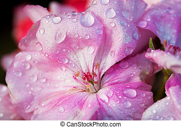Morning dew on the pink flower petals