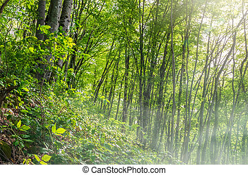 Morning fog in a green forest on a mountainside.