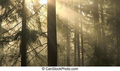 Morning forest, time lapse - Early morning light and fog ...