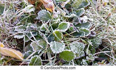 Morning frost on the leaves and grass. Autumn frosts