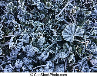Morning frost plants