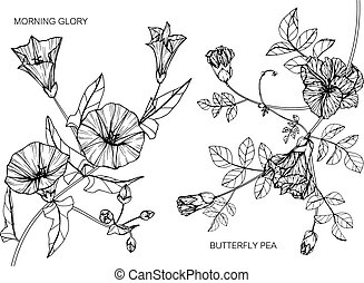 Morning glory and Butterfly pea flower drawing.