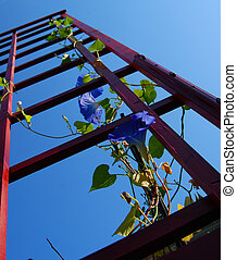 Morning glory in bloom cliimbing red trellis shot from ground level