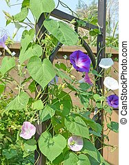 Morning Glory - closeup of multicolored morning glory vine...