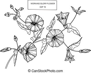 Morning glory flower. Drawing and sketch with black and...
