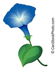 Morning glory flower in blue color illustration
