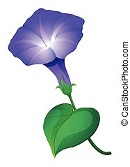 Morning glory flower in purple color on white illustration